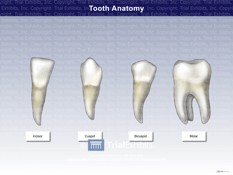 Tooth Anatomy - Shapes and Sizes