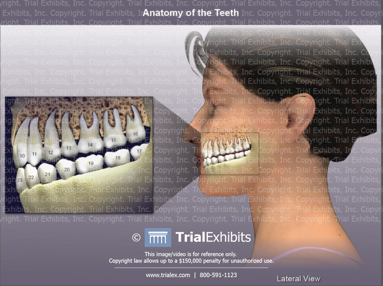 Anatomy of the Teeth - Lateral View