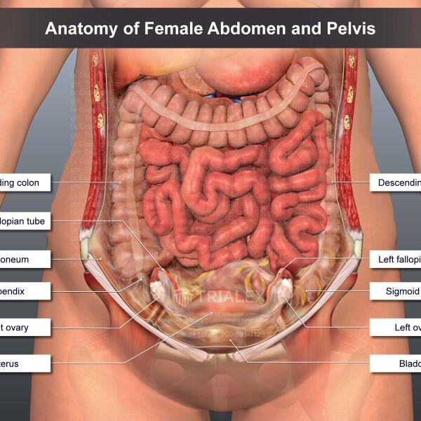 Anatomy of Female Abdomen and Pelvis - TrialExhibits Inc.Trial Exhibits, Inc.