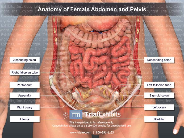 Anatomy Of Female Abdomen And Pelvis