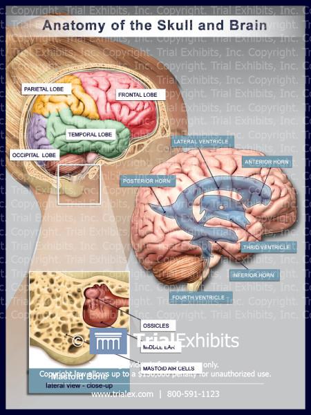 Anatomy of the Skull and Brain