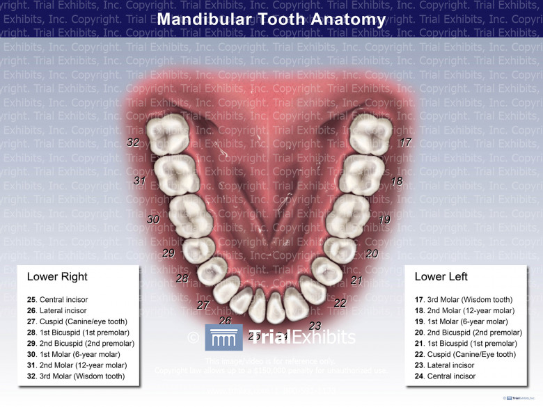 Mandibular Tooth Anatomy