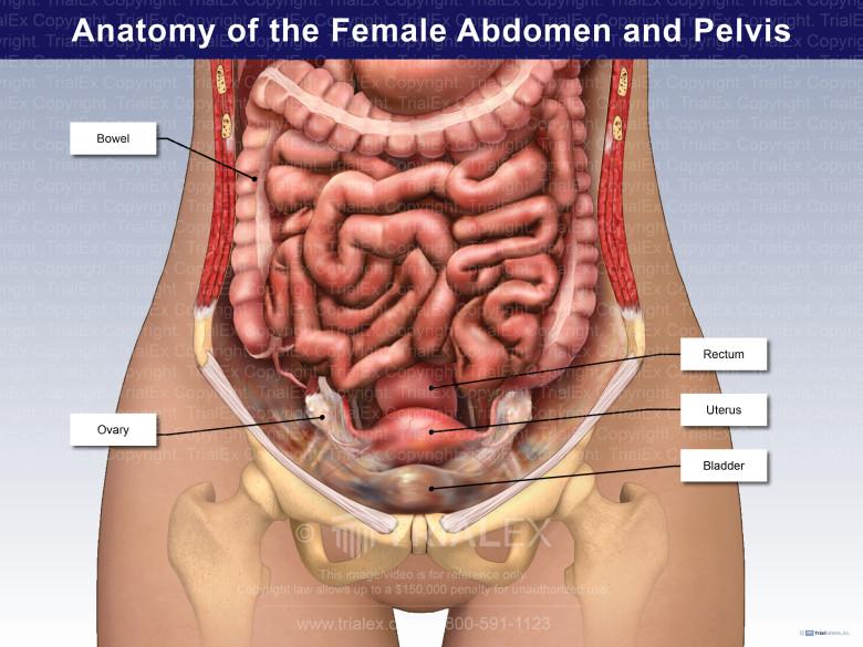 Anatomy of the Female Abdomen and Pelvis - TrialExhibits Inc.Trial Exhibits, Inc.